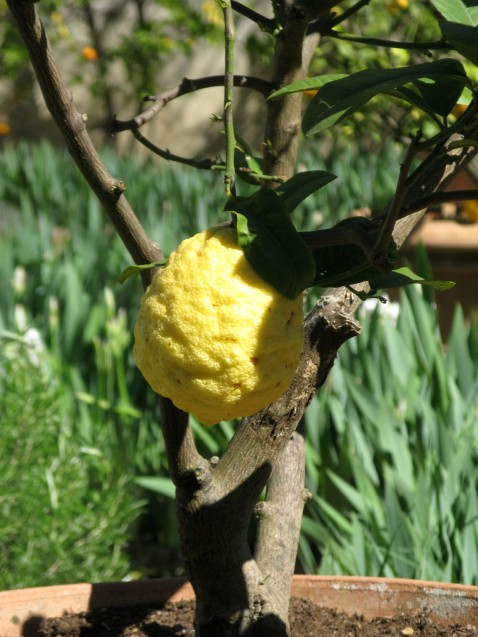 The biggest lemon ever in the Borghese Gardens
