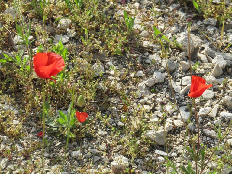 Poppies in Cicus Maximus